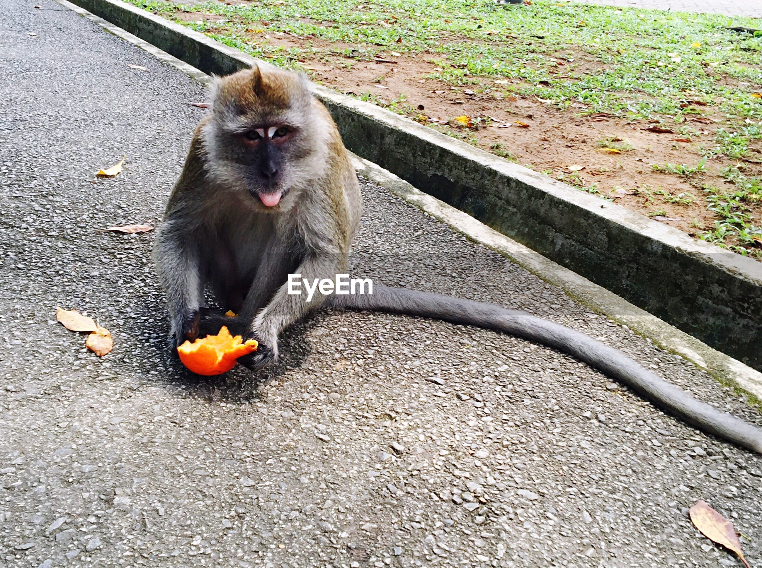 PORTRAIT OF MONKEY EATING FRUITS