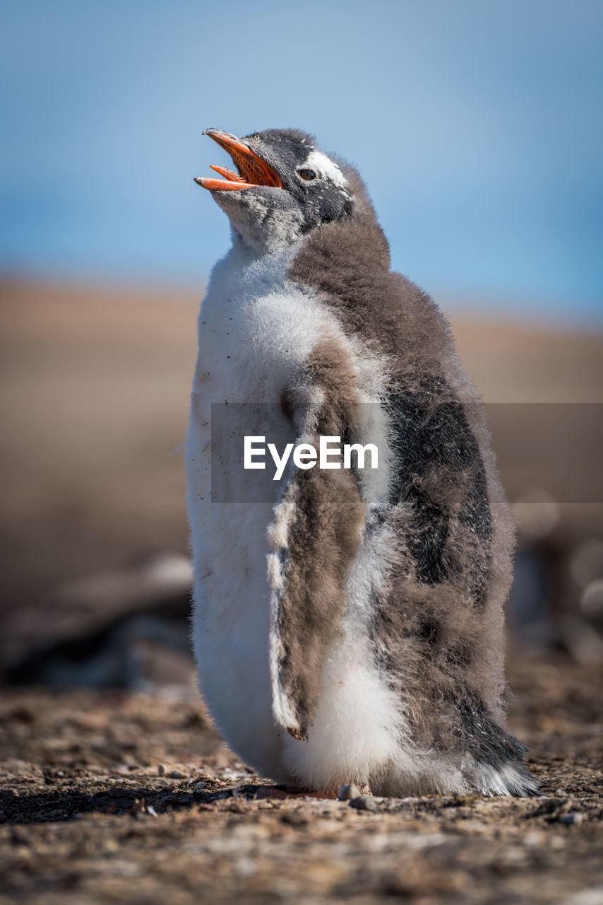 CLOSE-UP OF PENGUIN ON LAND