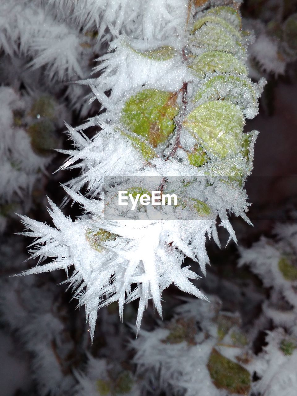 winter, cold temperature, snow, frozen, plant, ice, beauty in nature, close-up, white color, nature, day, growth, no people, focus on foreground, vulnerability, frost, fragility, tree, plant part, outdoors, lichen, cold, extreme weather, blizzard, leaves