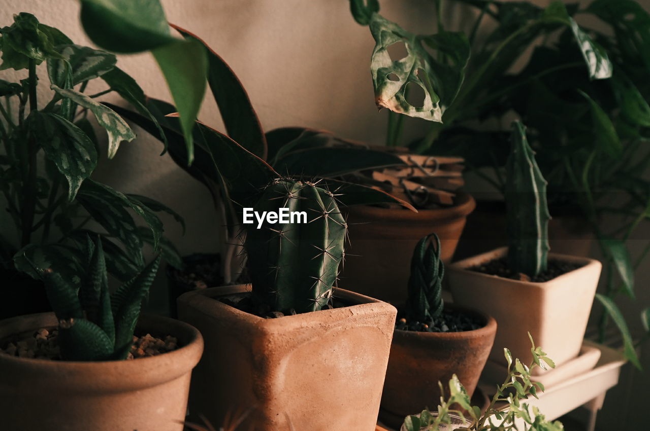 potted plant, growth, plant, leaf, plant part, nature, no people, close-up, green color, indoors, beauty in nature, botany, freshness, flower pot, succulent plant, herb, focus on foreground, day, basil, houseplant, plant nursery