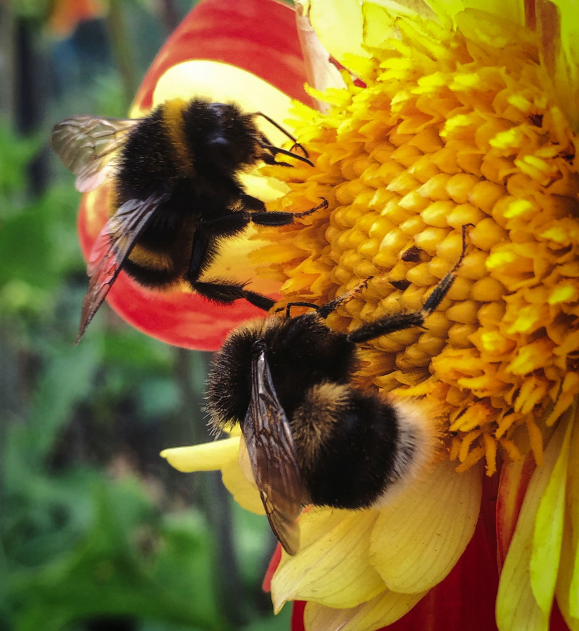 animal themes, flower, animals in the wild, insect, fragility, petal, yellow, nature, animal wildlife, beauty in nature, one animal, pollination, freshness, outdoors, day, close-up, bee, flower head, honey bee, symbiotic relationship, no people, growth, bumblebee, buzzing, mammal