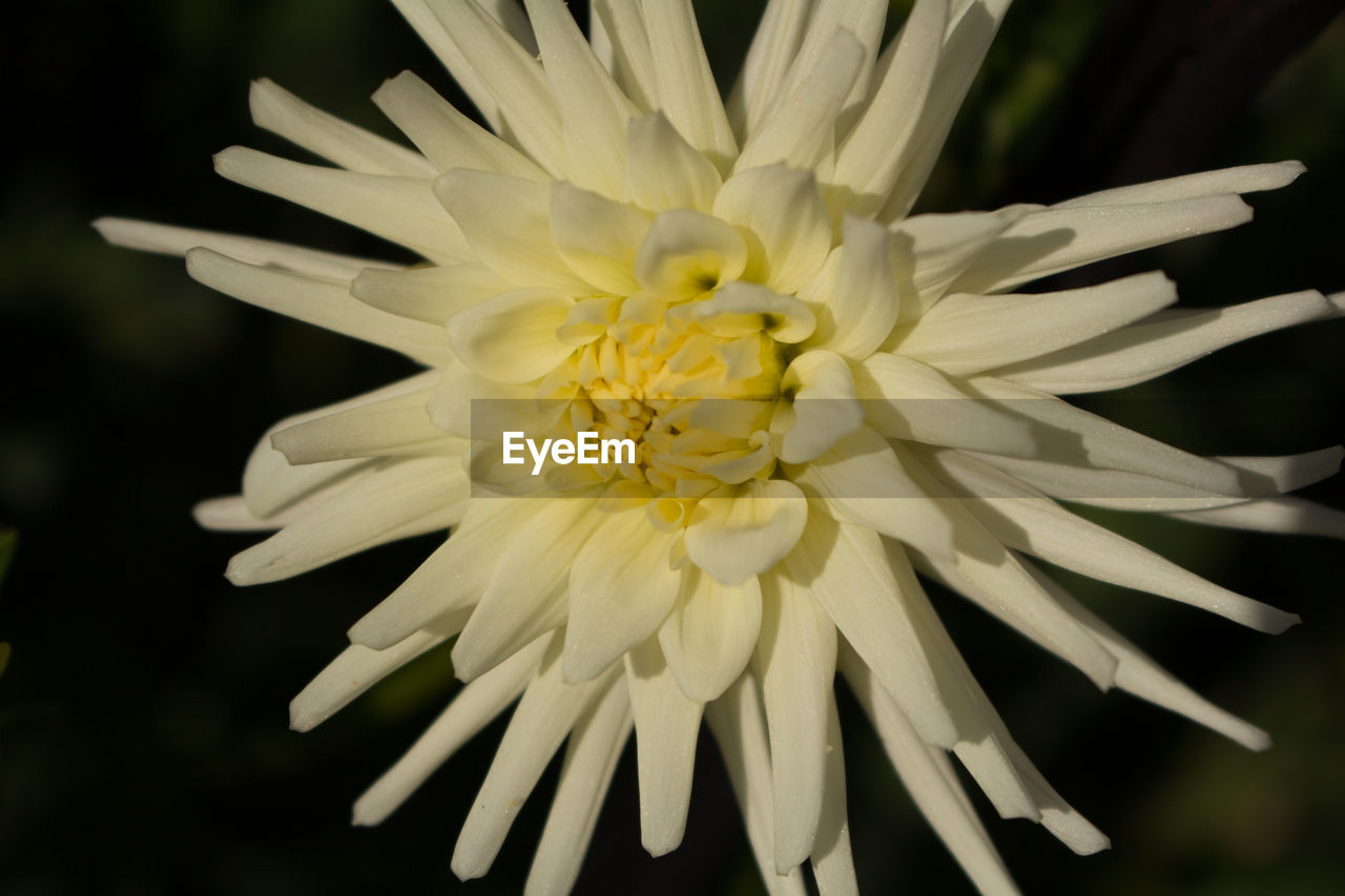 flower, petal, fragility, flower head, nature, beauty in nature, freshness, white color, growth, close-up, pollen, plant, stamen, no people, yellow, blooming, black background, outdoors, day