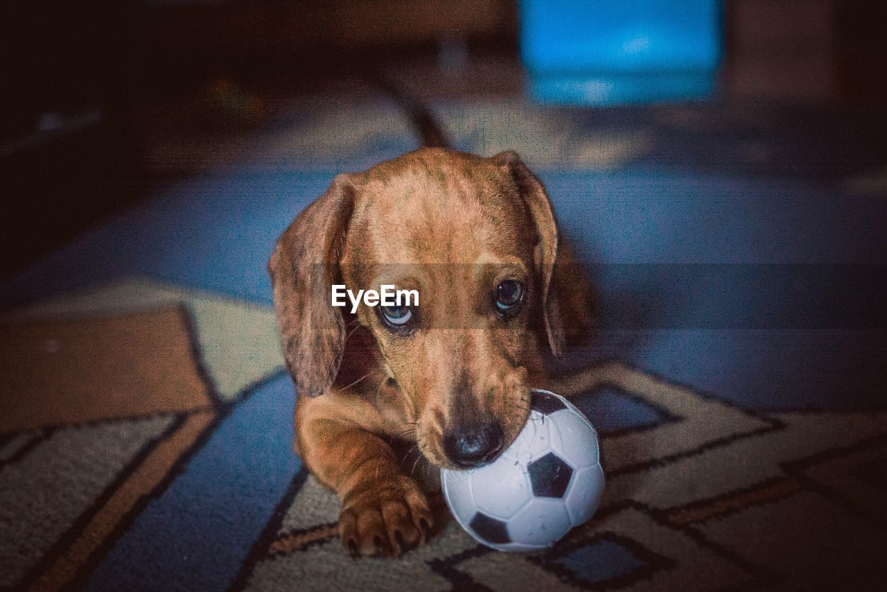 dog, pets, one animal, domestic animals, mammal, looking at camera, soccer ball, ball, portrait, animal themes, soccer, indoors, beagle, no people, day