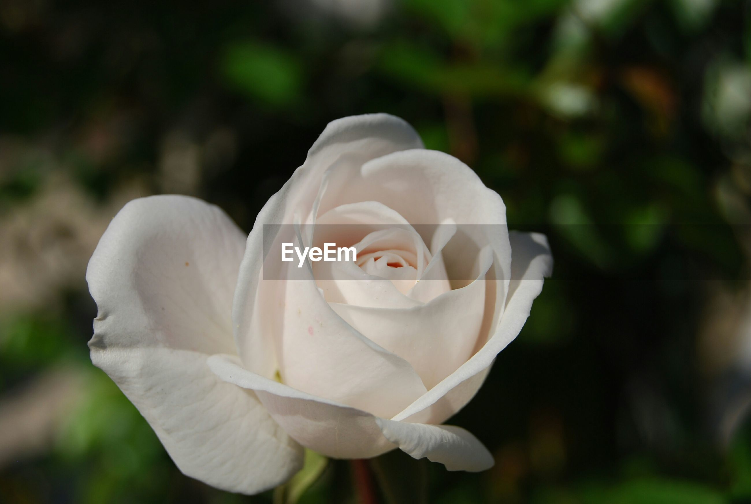 flower, petal, flower head, white color, fragility, freshness, focus on foreground, growth, close-up, beauty in nature, rose - flower, blooming, white, nature, single flower, in bloom, selective focus, outdoors, day, park - man made space