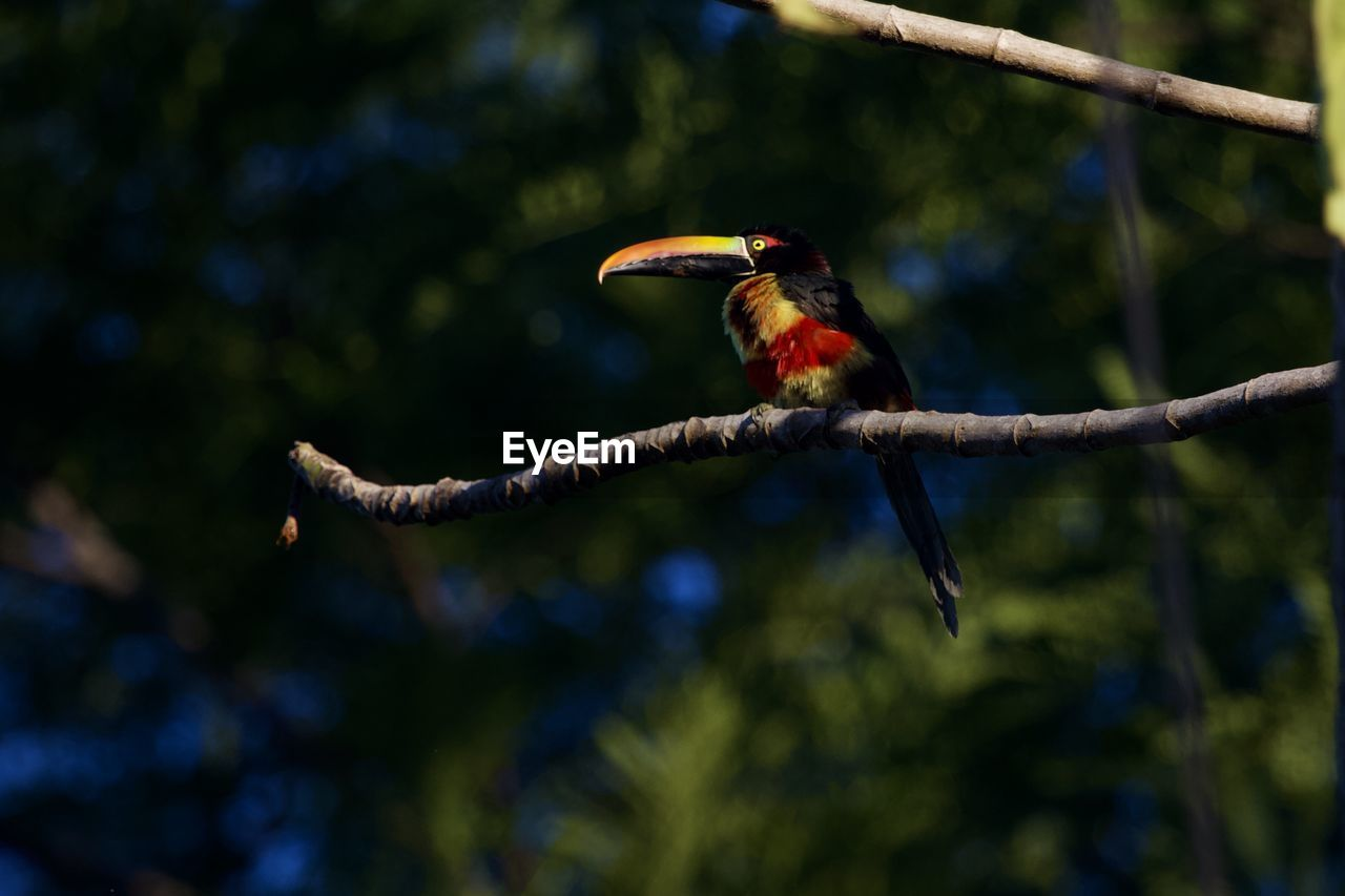 animals in the wild, vertebrate, animal wildlife, animal themes, one animal, animal, bird, perching, tree, branch, focus on foreground, plant, day, no people, nature, kingfisher, outdoors, selective focus, close-up, beauty in nature, beak
