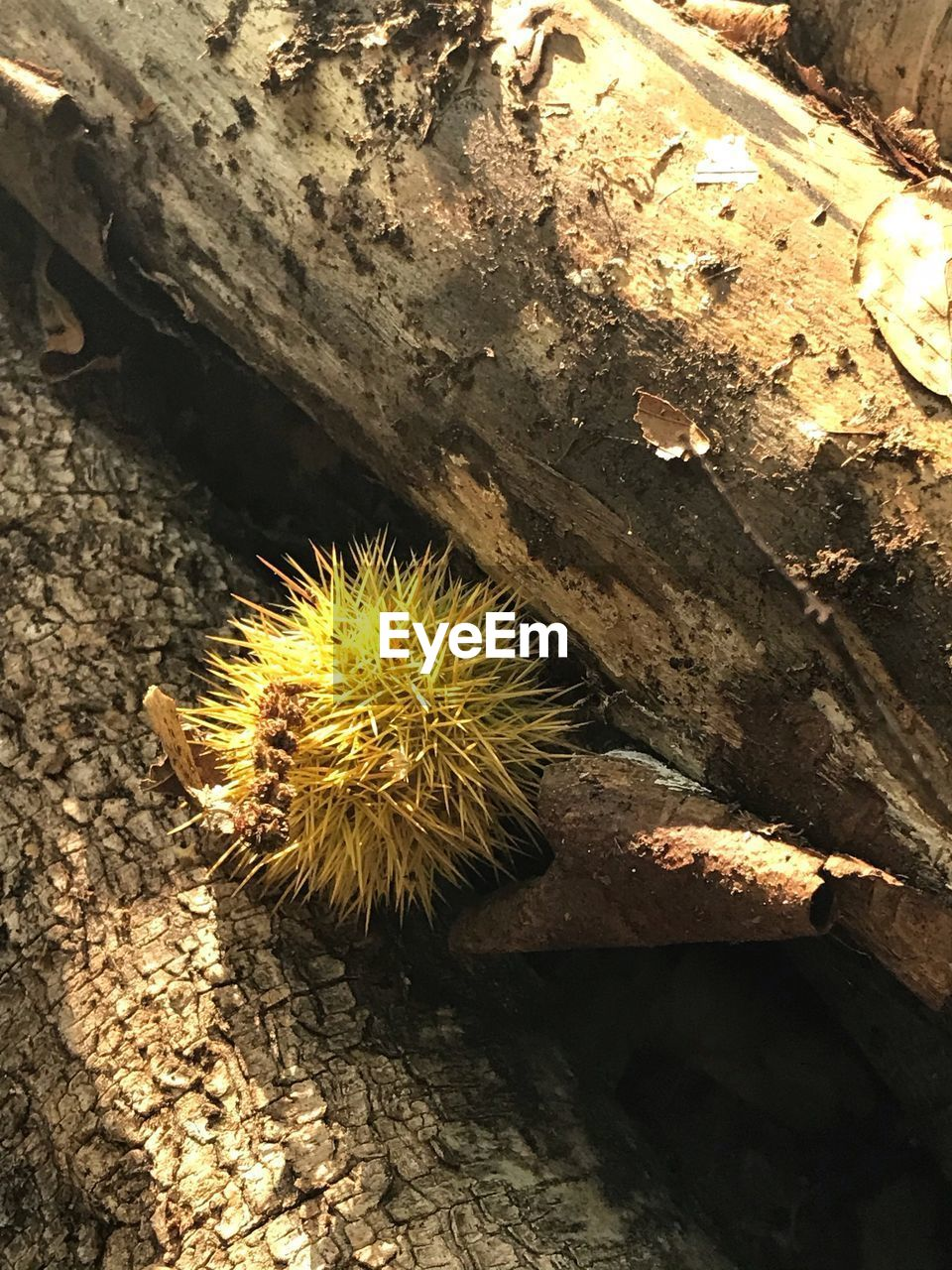 animals in the wild, animal wildlife, close-up, animal, one animal, no people, insect, animal themes, invertebrate, high angle view, day, nature, outdoors, spiked, caterpillar, chestnut - food, solid, food, textured, rock, spiky