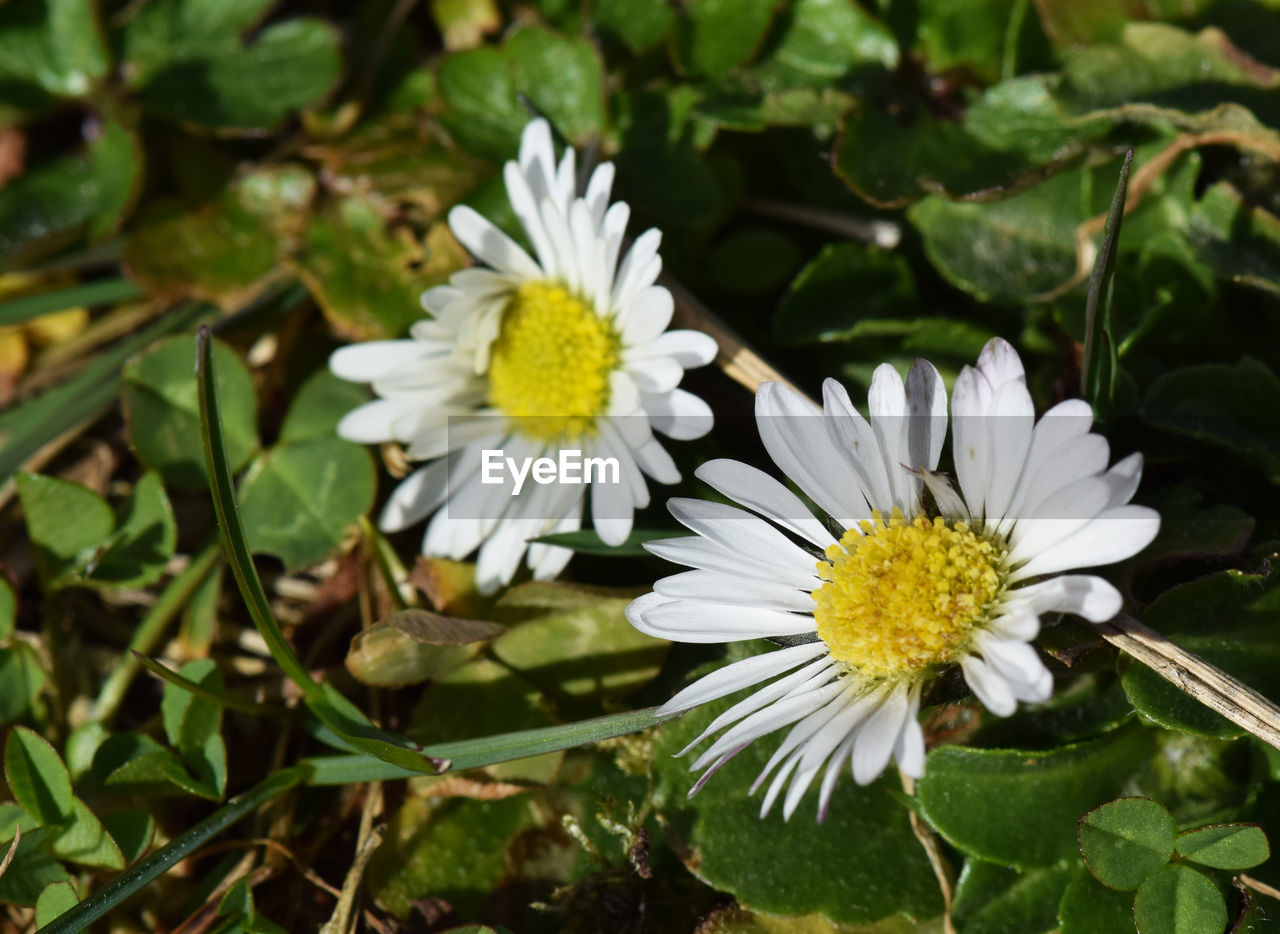 flower, petal, fragility, nature, white color, beauty in nature, freshness, growth, flower head, plant, blooming, no people, leaf, close-up, day, outdoors, springtime