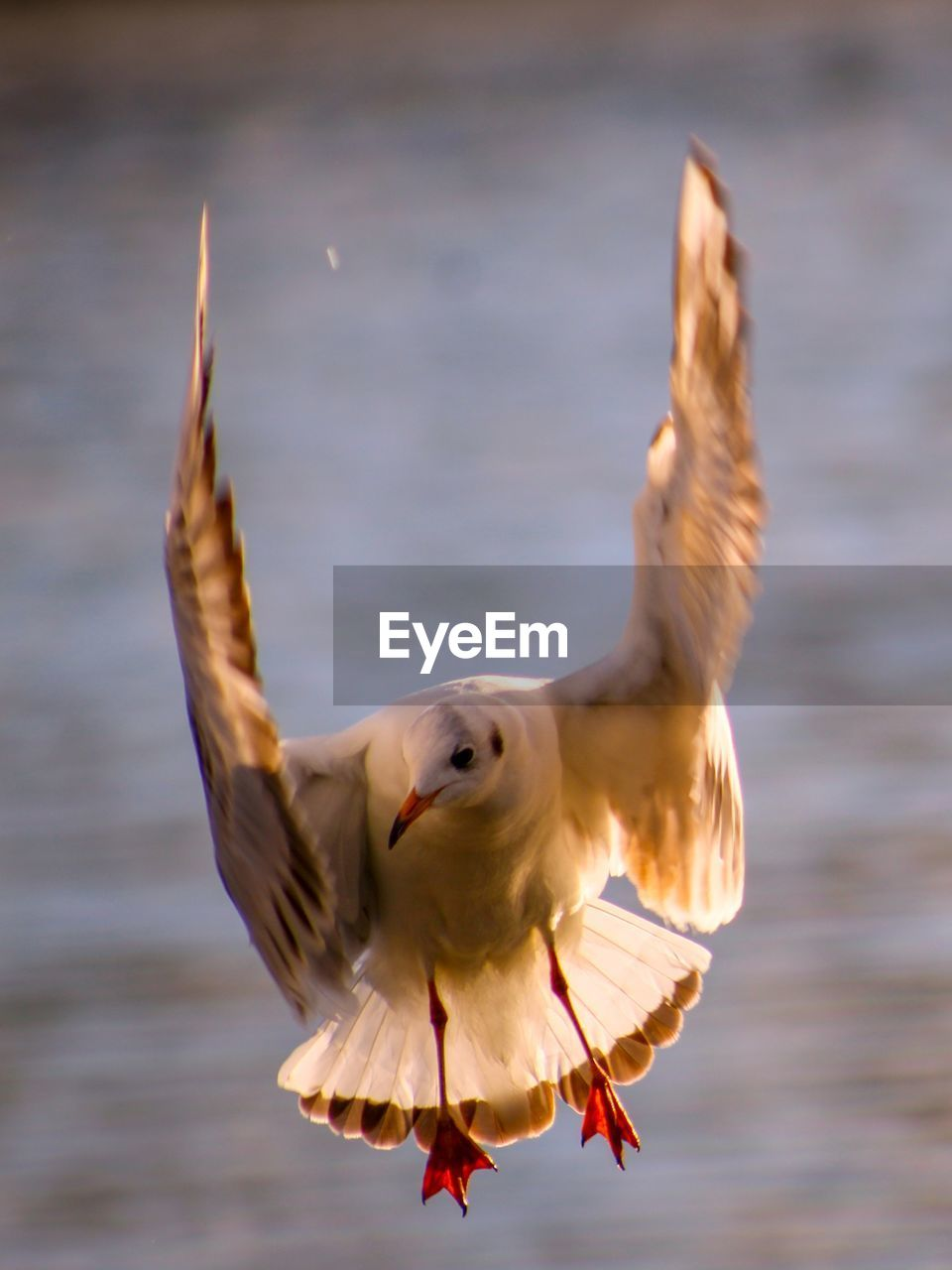 animal, animal themes, one animal, flying, spread wings, vertebrate, animals in the wild, bird, animal wildlife, water, focus on foreground, motion, nature, no people, day, sea, outdoors, beauty in nature, seagull, flapping
