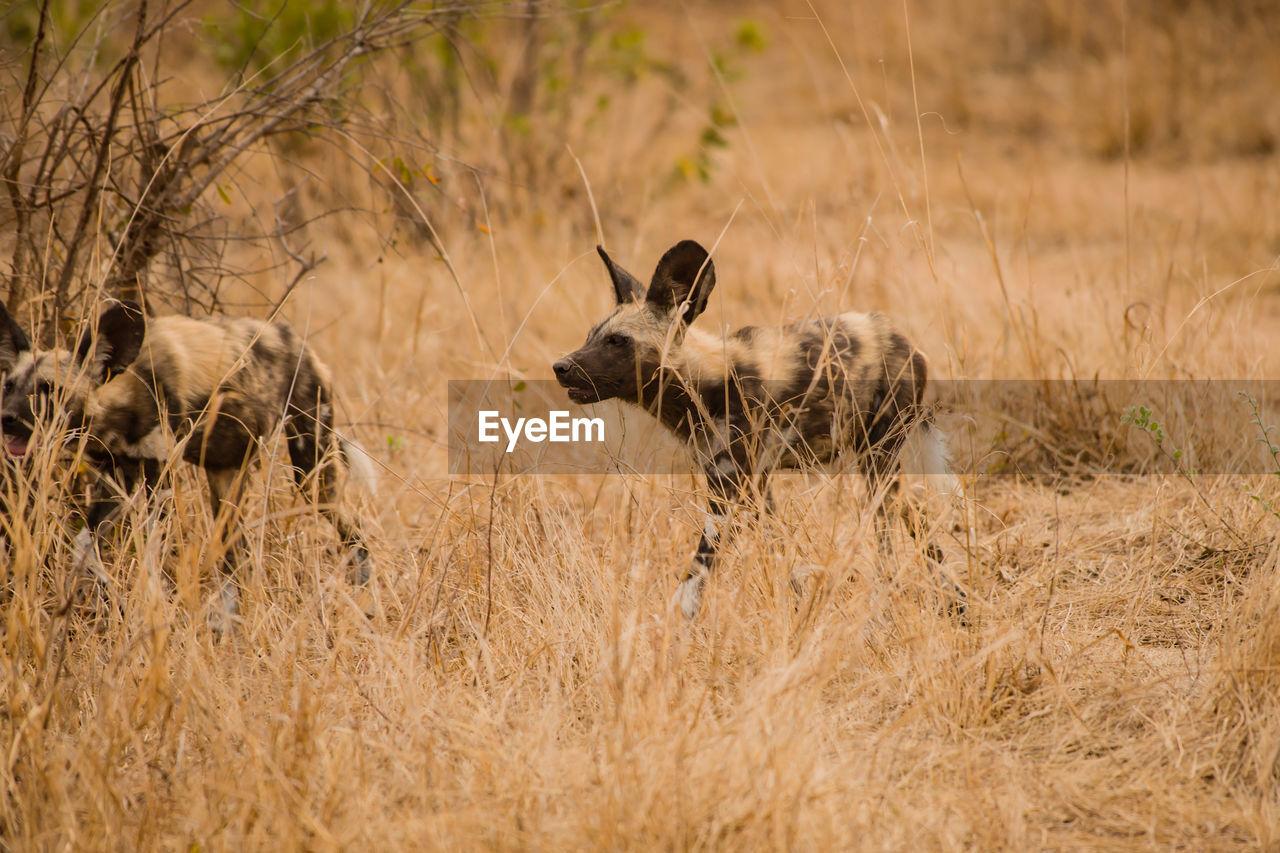 Wild Dogs Resting On Field