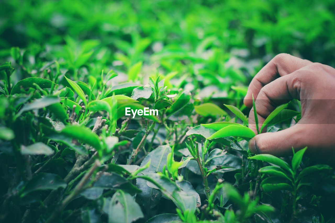 green color, human hand, hand, plant, human body part, real people, growth, one person, leaf, plant part, nature, body part, selective focus, lifestyles, holding, unrecognizable person, day, land, field, finger, outdoors, human limb