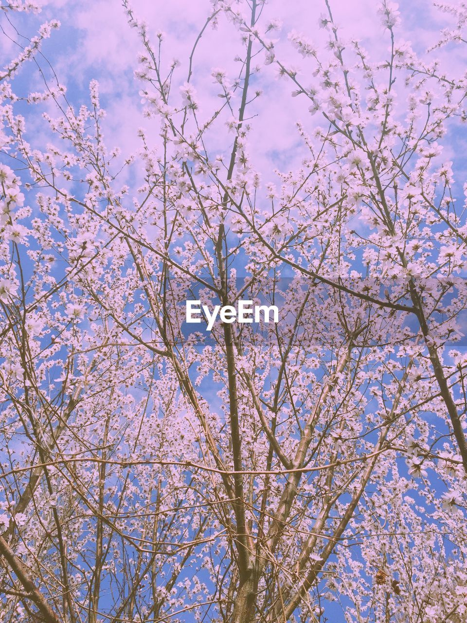 branch, flower, beauty in nature, tree, blossom, low angle view, nature, springtime, growth, fragility, botany, freshness, no people, day, backgrounds, sky, outdoors, pink color, full frame, scenics, close-up, flower head