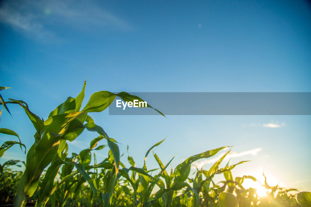 growth, nature, plant, leaf, blue, green color, sky, beauty in nature, no people, outdoors, agriculture, day, freshness, clear sky, close-up