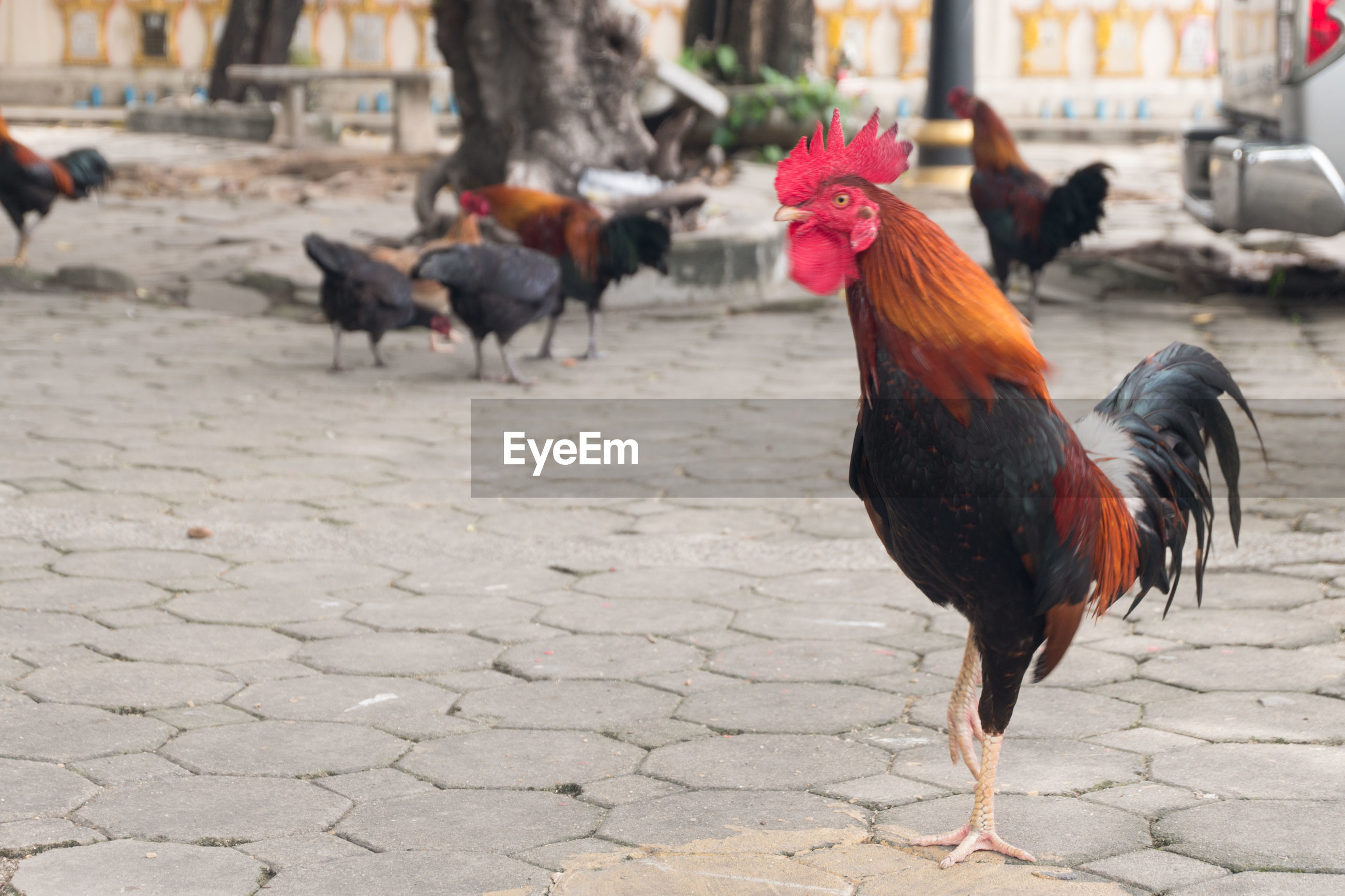 Roosters on footpath
