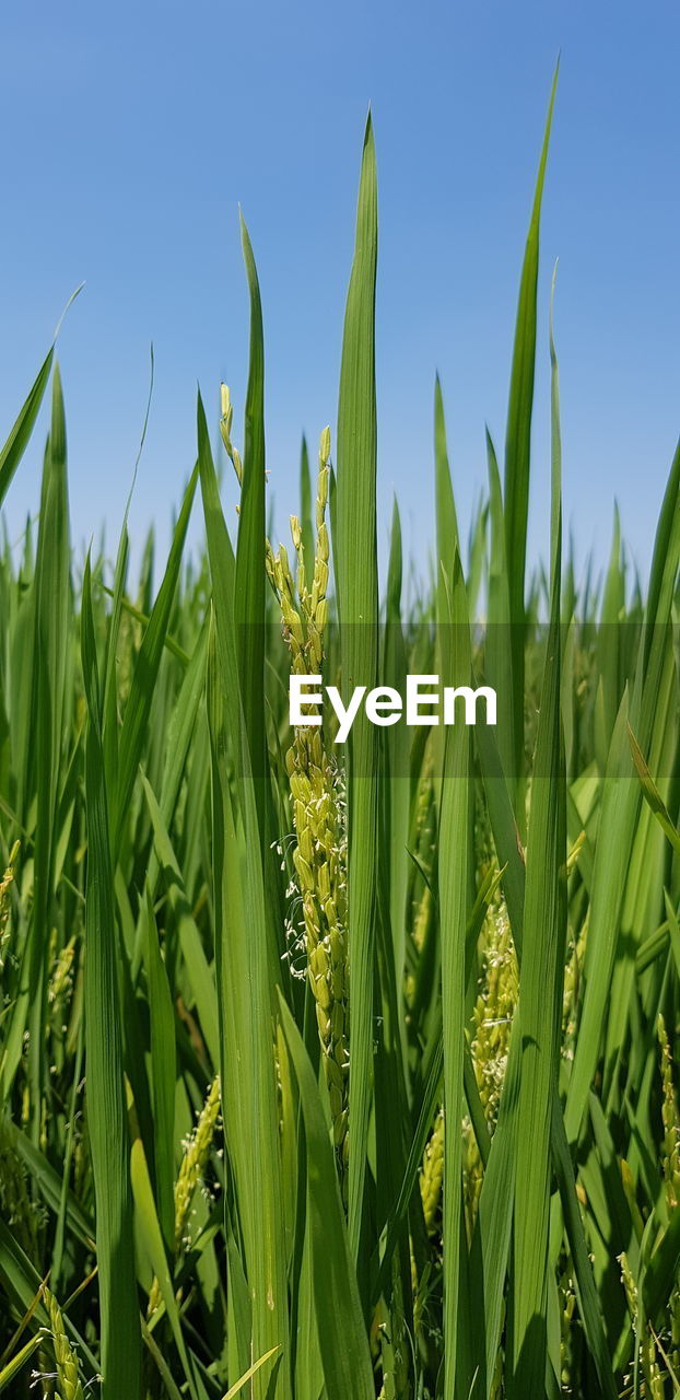 growth, green color, plant, field, land, beauty in nature, nature, agriculture, sky, no people, rural scene, day, tranquility, crop, landscape, farm, close-up, cereal plant, plant part, sunlight, outdoors, blade of grass