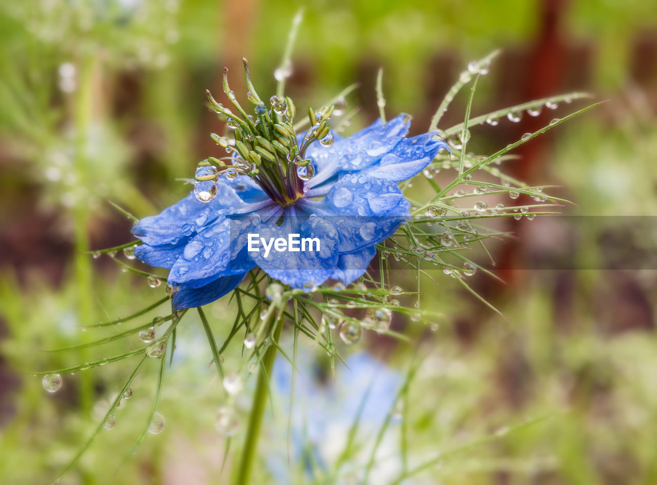 flowering plant, flower, plant, fragility, vulnerability, beauty in nature, blue, close-up, growth, freshness, nature, purple, petal, no people, flower head, inflorescence, focus on foreground, day, green color, selective focus