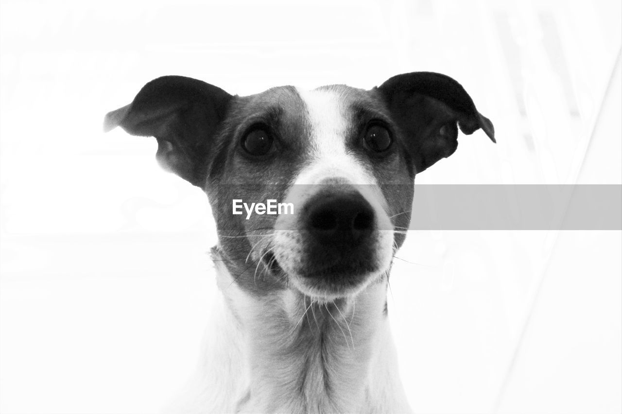 dog, pets, one animal, domestic animals, animal themes, portrait, looking at camera, mammal, close-up, no people, white background, day, outdoors