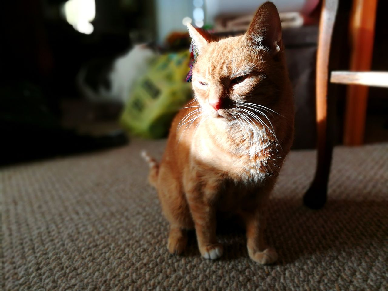domestic cat, one animal, animal themes, domestic animals, pets, feline, cat, mammal, sitting, indoors, no people, home interior, focus on foreground, whisker, ginger cat, day, close-up