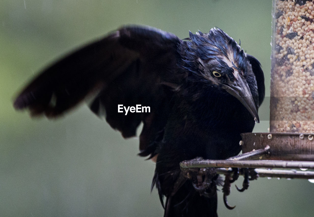 Close-Up Of Wet Black Bird Perching On Feeder