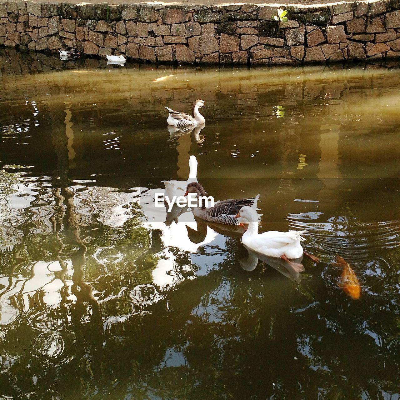 water, lake, group of animals, animal wildlife, animal, vertebrate, animal themes, waterfront, animals in the wild, swimming, bird, reflection, day, nature, no people, swan, water bird, young animal, beauty in nature, animal family, cygnet, floating on water, flock of birds