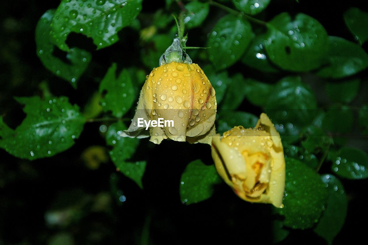 drop, wet, water, nature, growth, green color, beauty in nature, freshness, flower, close-up, raindrop, no people, plant, fragility, leaf, outdoors, yellow, day, flower head