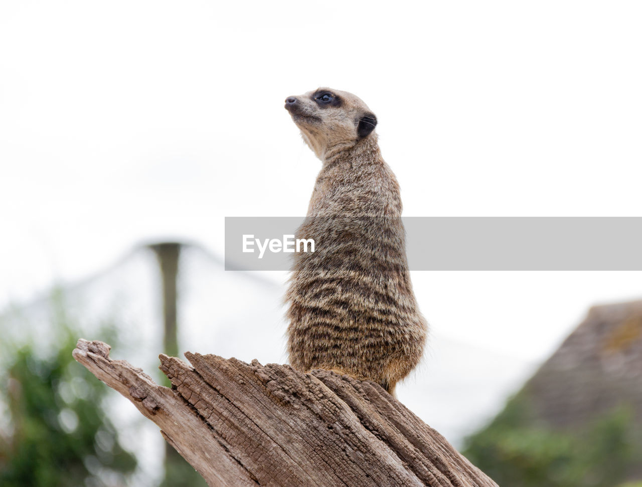animal themes, animal, animals in the wild, animal wildlife, one animal, focus on foreground, wood - material, vertebrate, sky, meerkat, no people, mammal, nature, low angle view, day, close-up, looking, boundary, fence, outdoors, animal neck