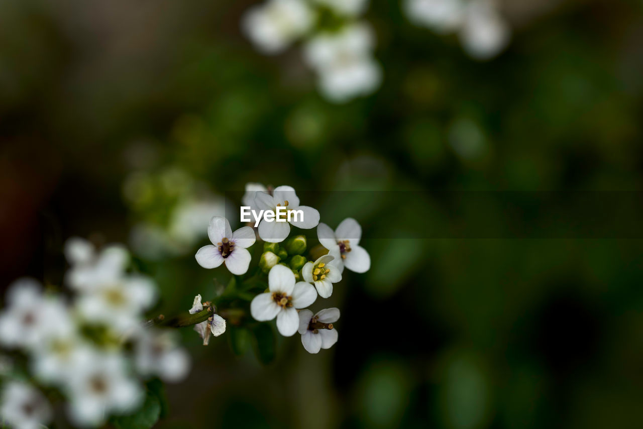 flower, plant, flowering plant, growth, vulnerability, beauty in nature, fragility, freshness, white color, day, petal, selective focus, nature, close-up, no people, flower head, inflorescence, focus on foreground, outdoors, springtime