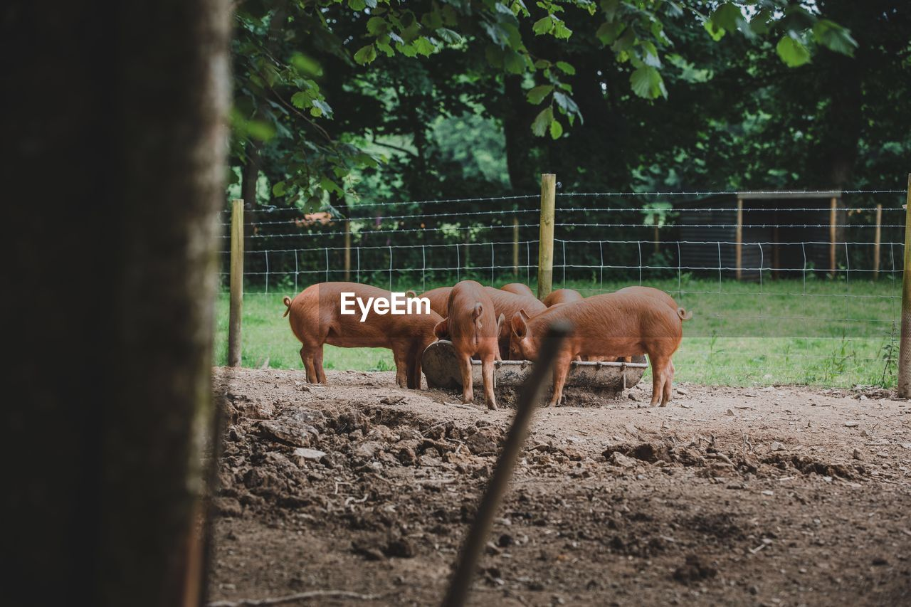 Brown pigs standing at farm
