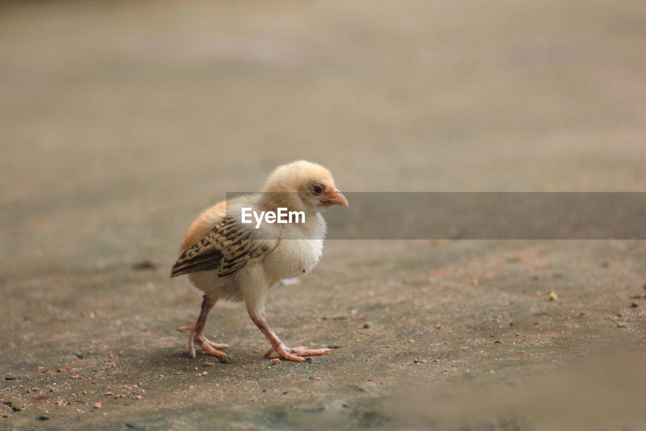 Close-Up Of Baby Chicken On Land