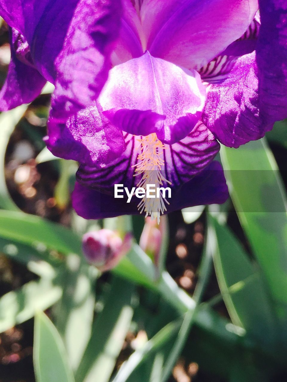flower, growth, beauty in nature, petal, fragility, purple, nature, freshness, day, close-up, plant, outdoors, selective focus, no people, flower head, blooming, iris - plant