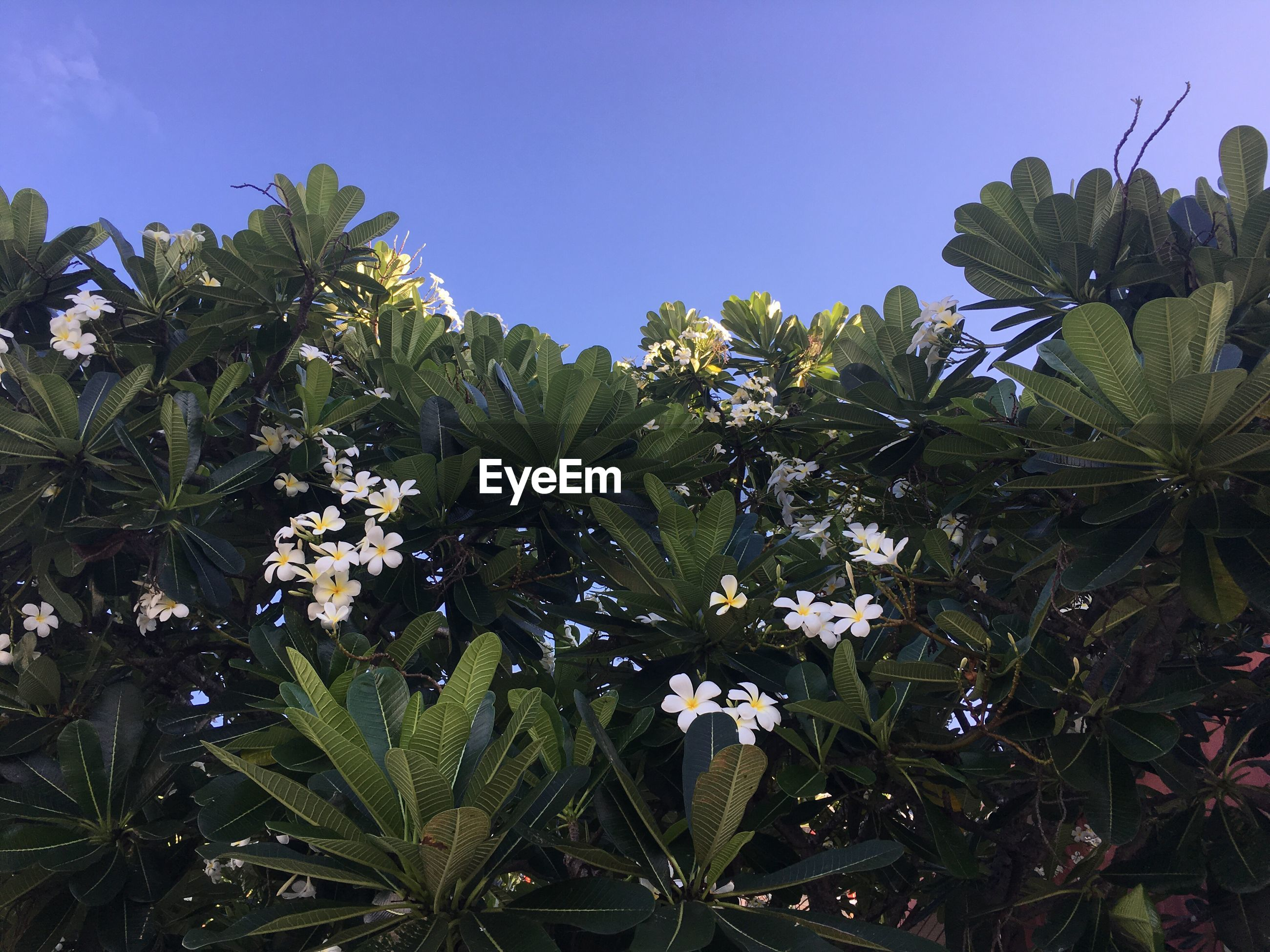 FLOWERS GROWING ON PLANT AGAINST CLEAR SKY