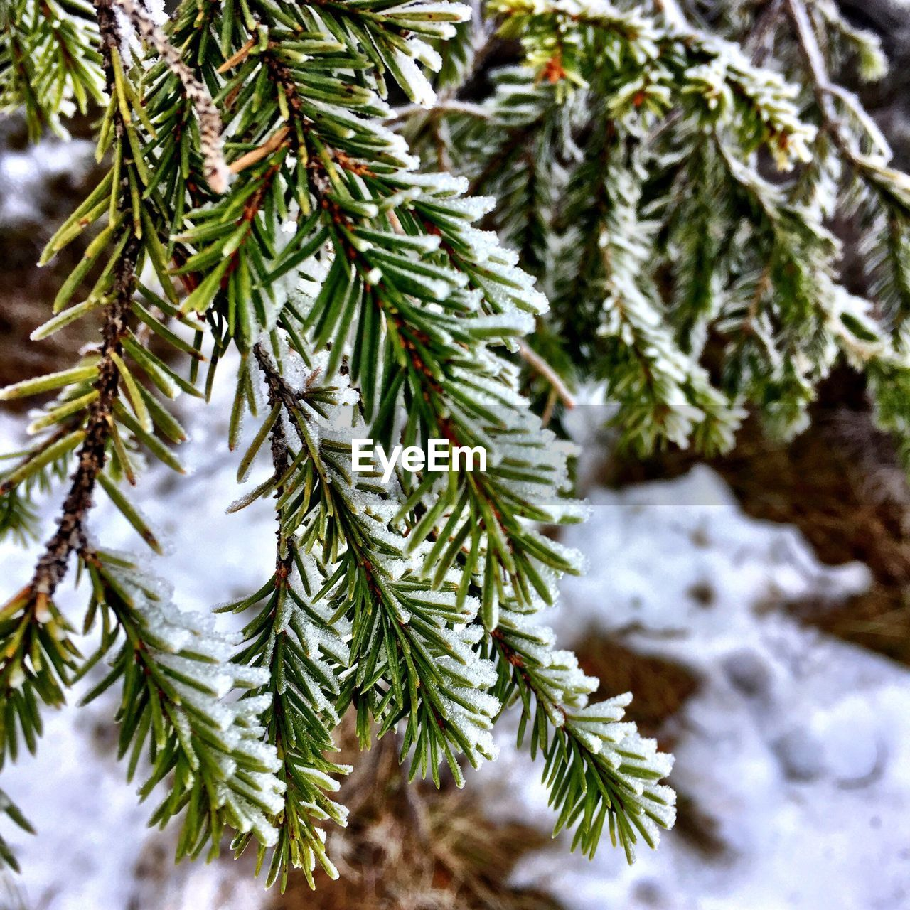 winter, christmas, christmas tree, cold temperature, snow, tree, pine tree, spruce tree, green color, fir tree, nature, no people, focus on foreground, close-up, pinaceae, needle - plant part, celebration, growth, branch, weather, beauty in nature, day, selective focus, christmas decoration, outdoors, needle, freshness