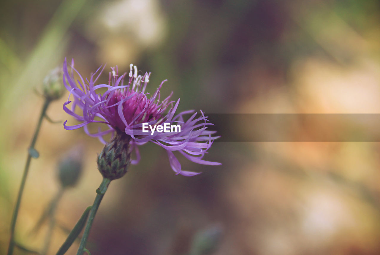 flower, nature, beauty in nature, fragility, petal, growth, plant, focus on foreground, flower head, freshness, no people, purple, close-up, outdoors, day, blooming
