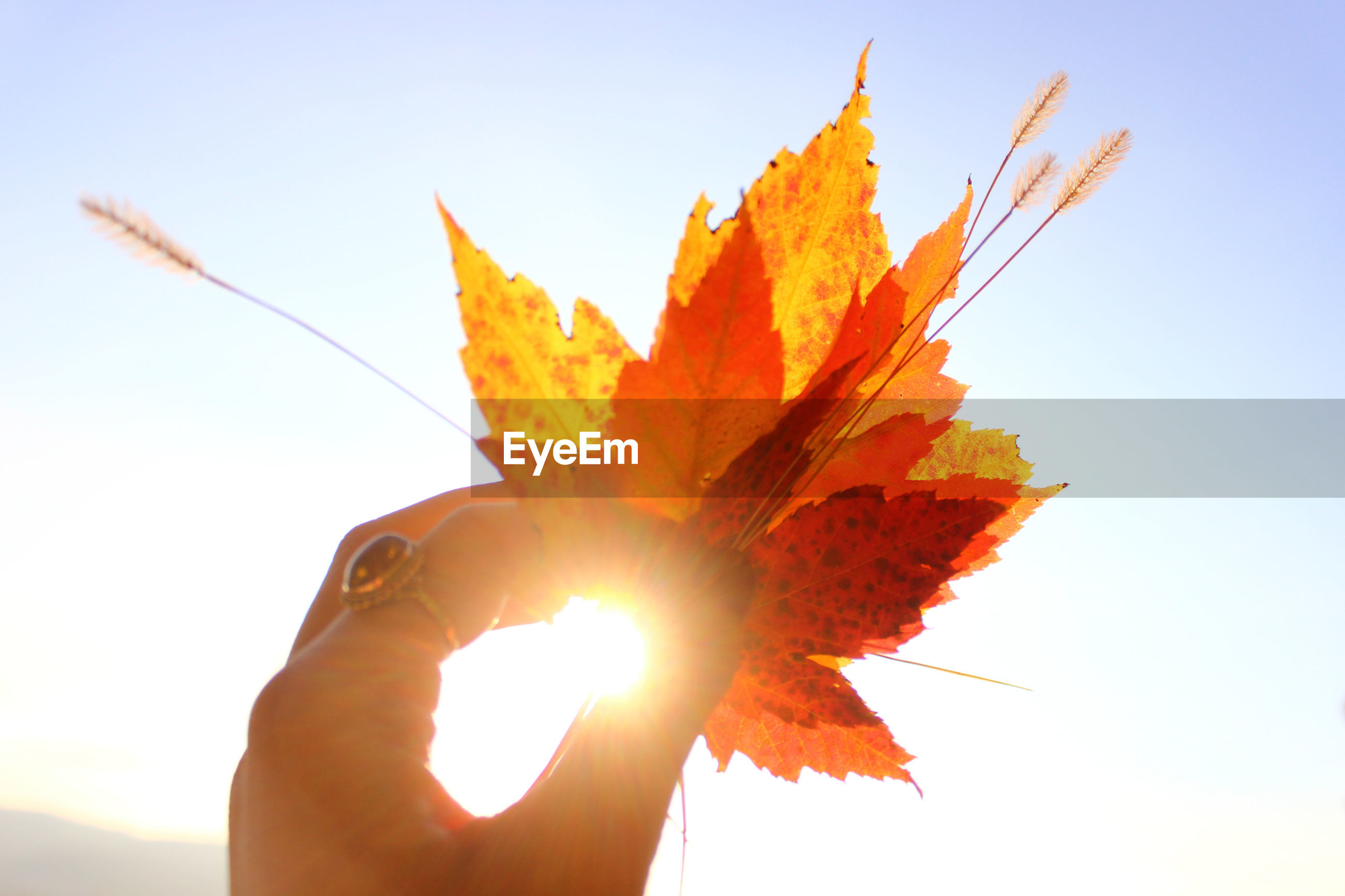 Cropped hand of woman holding maple leaves against clear sky during autumn