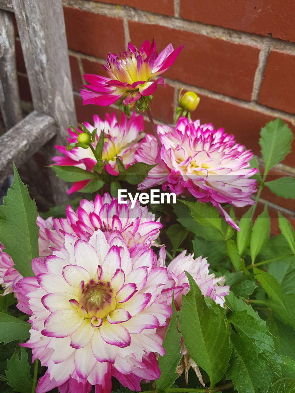 flowering plant, flower, vulnerability, fragility, plant, beauty in nature, petal, freshness, flower head, inflorescence, growth, pink color, close-up, nature, leaf, plant part, no people, day, outdoors, front or back yard, purple, flower pot, flower arrangement