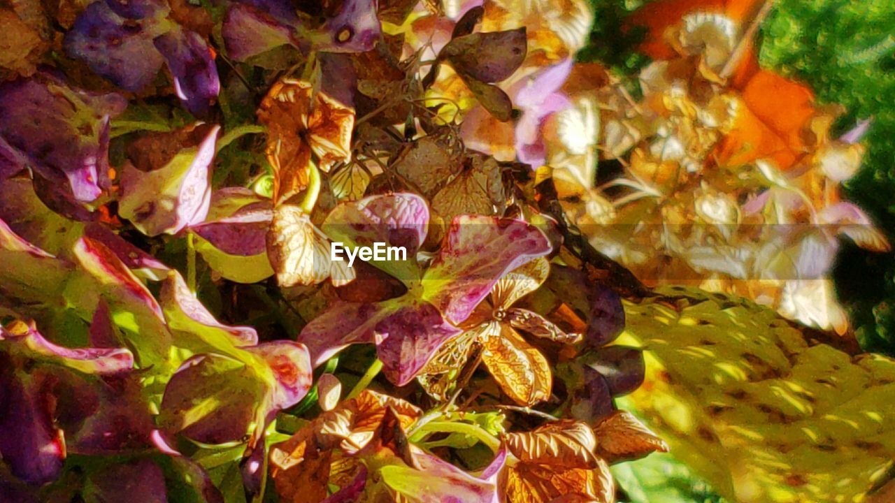 leaf, plant part, beauty in nature, close-up, plant, no people, autumn, nature, leaves, change, day, backgrounds, full frame, fragility, growth, vulnerability, flowering plant, selective focus, yellow, flower, outdoors, maple leaf, purple, fall, wilted plant