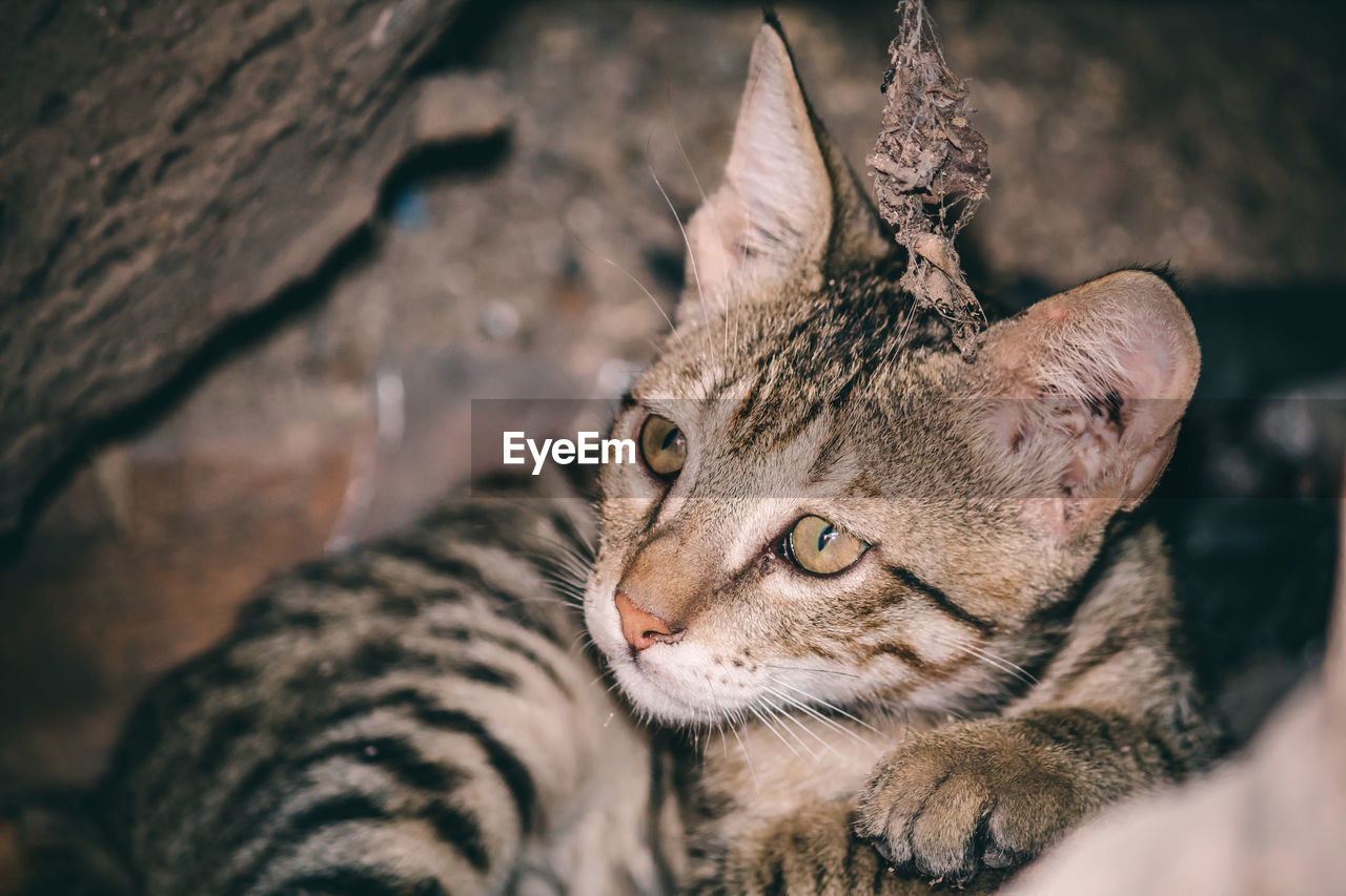 animal themes, mammal, feline, animal, cat, one animal, vertebrate, no people, domestic animals, pets, animal wildlife, close-up, selective focus, looking away, animals in the wild, big cat, day, whisker, relaxation, domestic cat, animal head