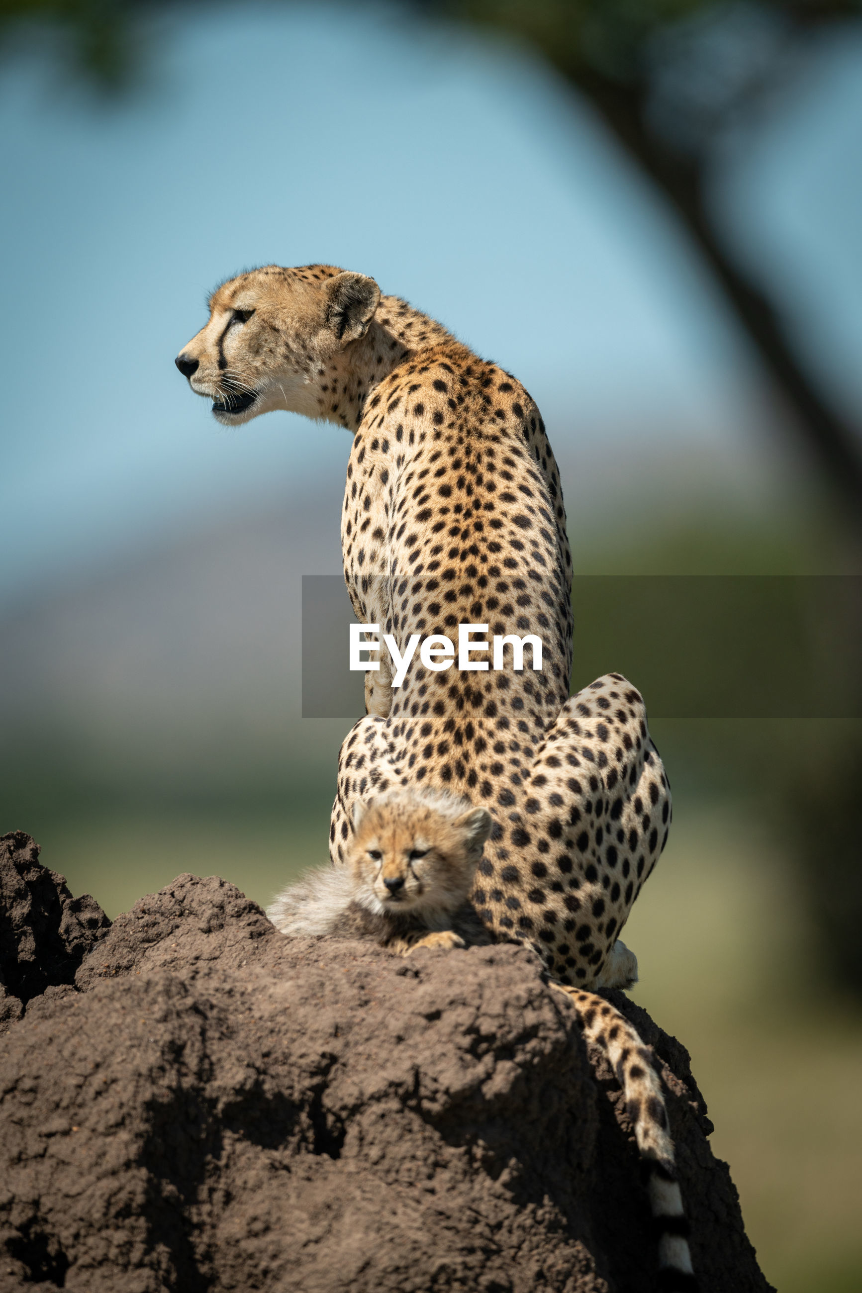 Cheetah on land in forest