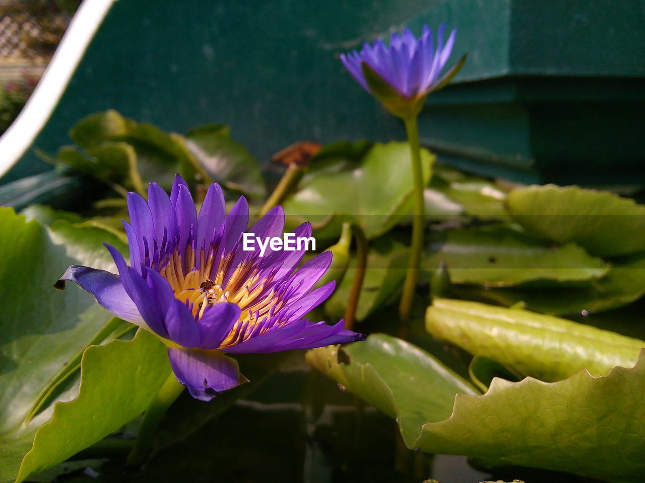 flower, flowering plant, plant, vulnerability, beauty in nature, fragility, growth, freshness, close-up, petal, flower head, inflorescence, water lily, purple, nature, leaf, plant part, pond, water, day, no people, pollen, lotus water lily, floating on water, outdoors