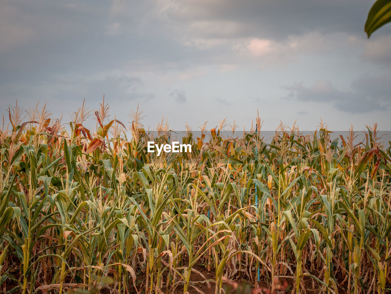 growth, sky, cloud - sky, field, plant, agriculture, land, crop, beauty in nature, cereal plant, farm, rural scene, landscape, nature, tranquility, no people, scenics - nature, day, corn, environment, plantation