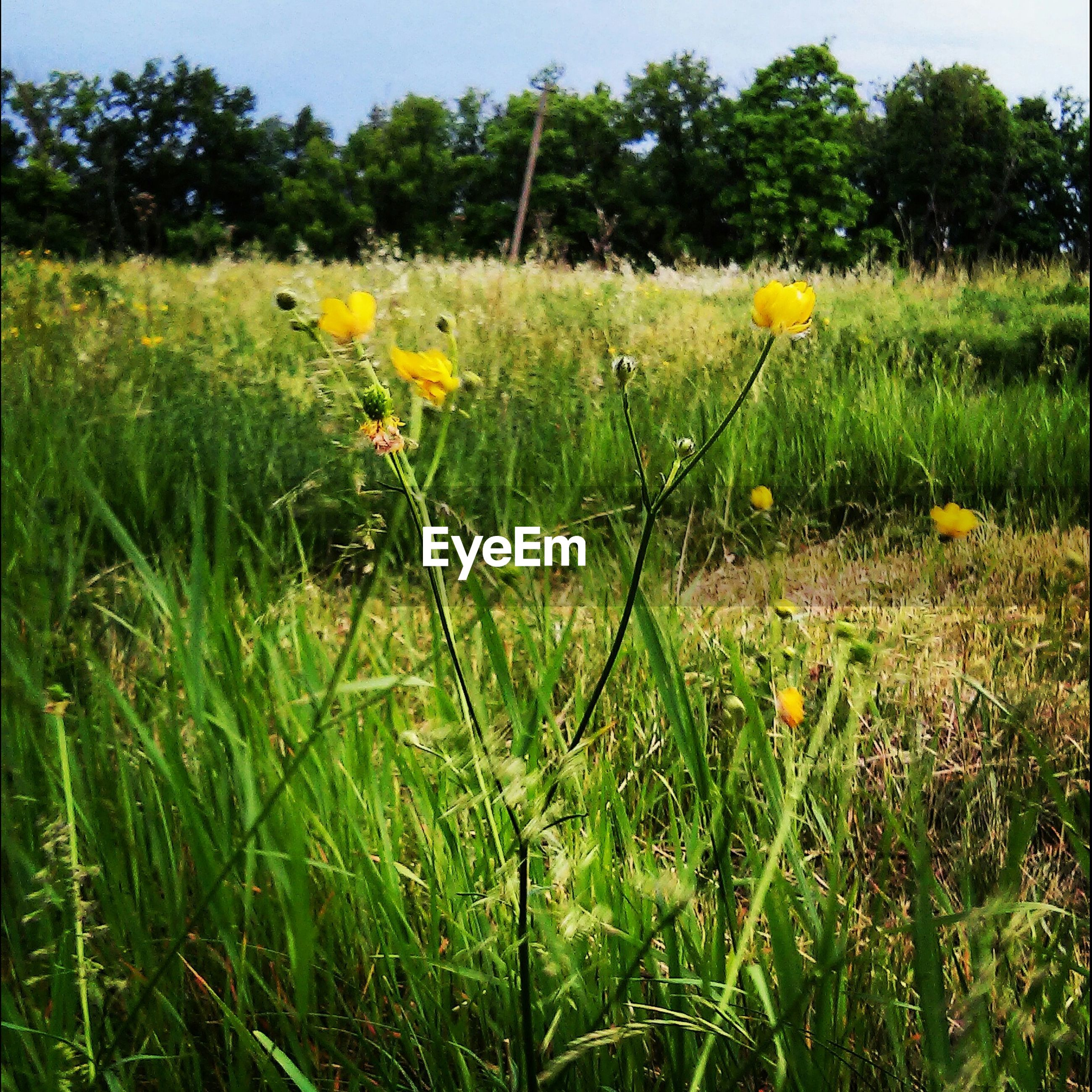 flower, growth, yellow, field, grass, freshness, fragility, plant, beauty in nature, nature, blooming, green color, stem, petal, in bloom, wildflower, flower head, day, tranquility, meadow
