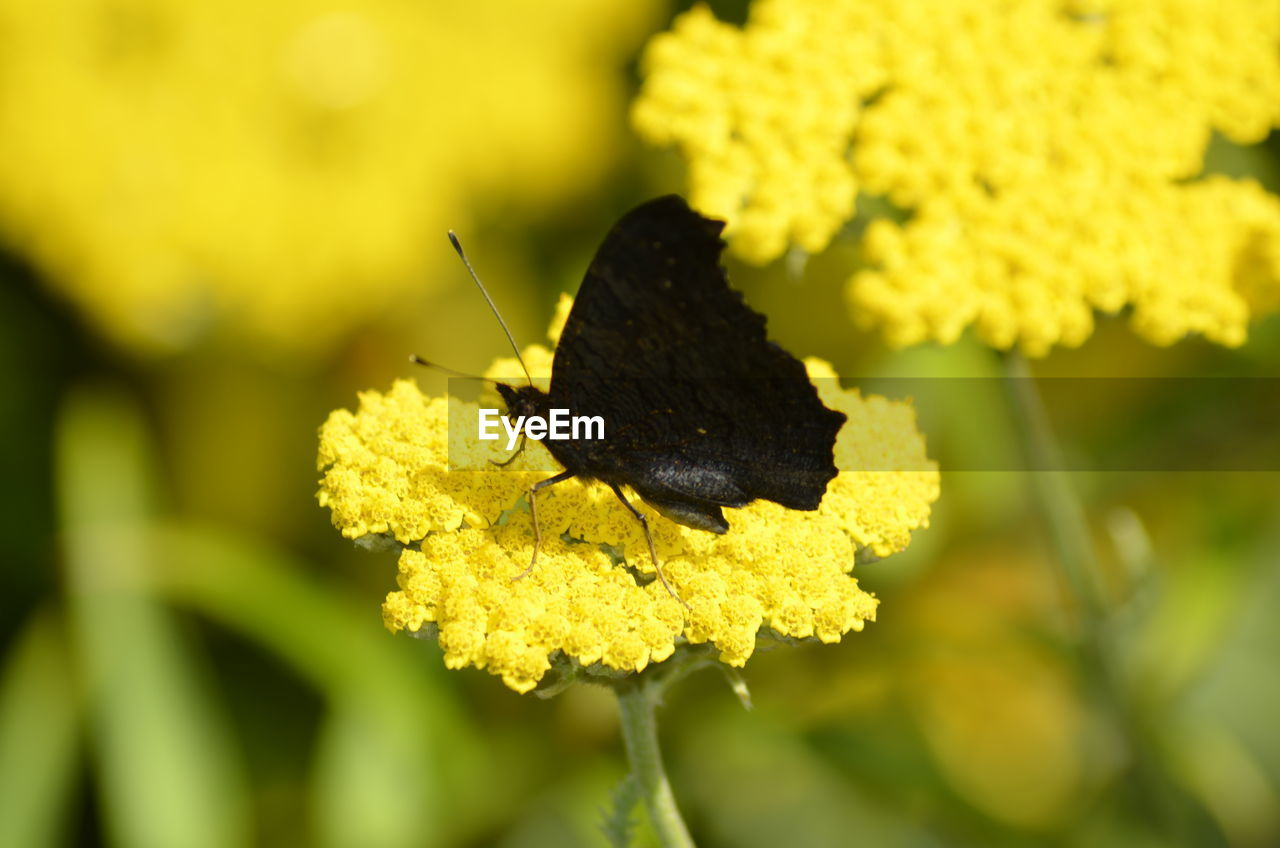 Close-Up Of Black Butterfly On Yellow Flower