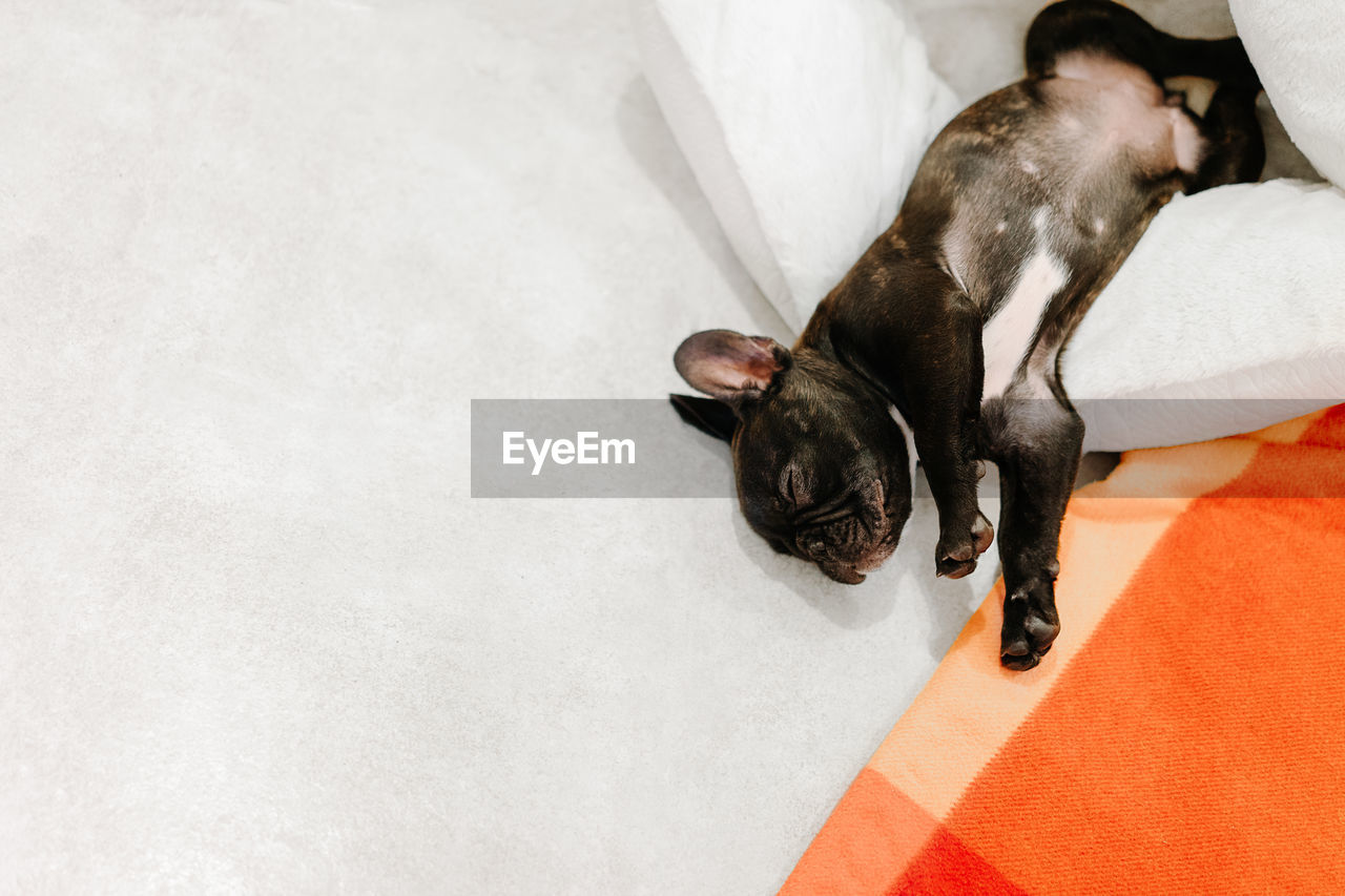animal themes, animal, one animal, mammal, domestic animals, domestic, pets, vertebrate, canine, dog, indoors, high angle view, no people, relaxation, white color, furniture, bed, lying down, resting, sleeping