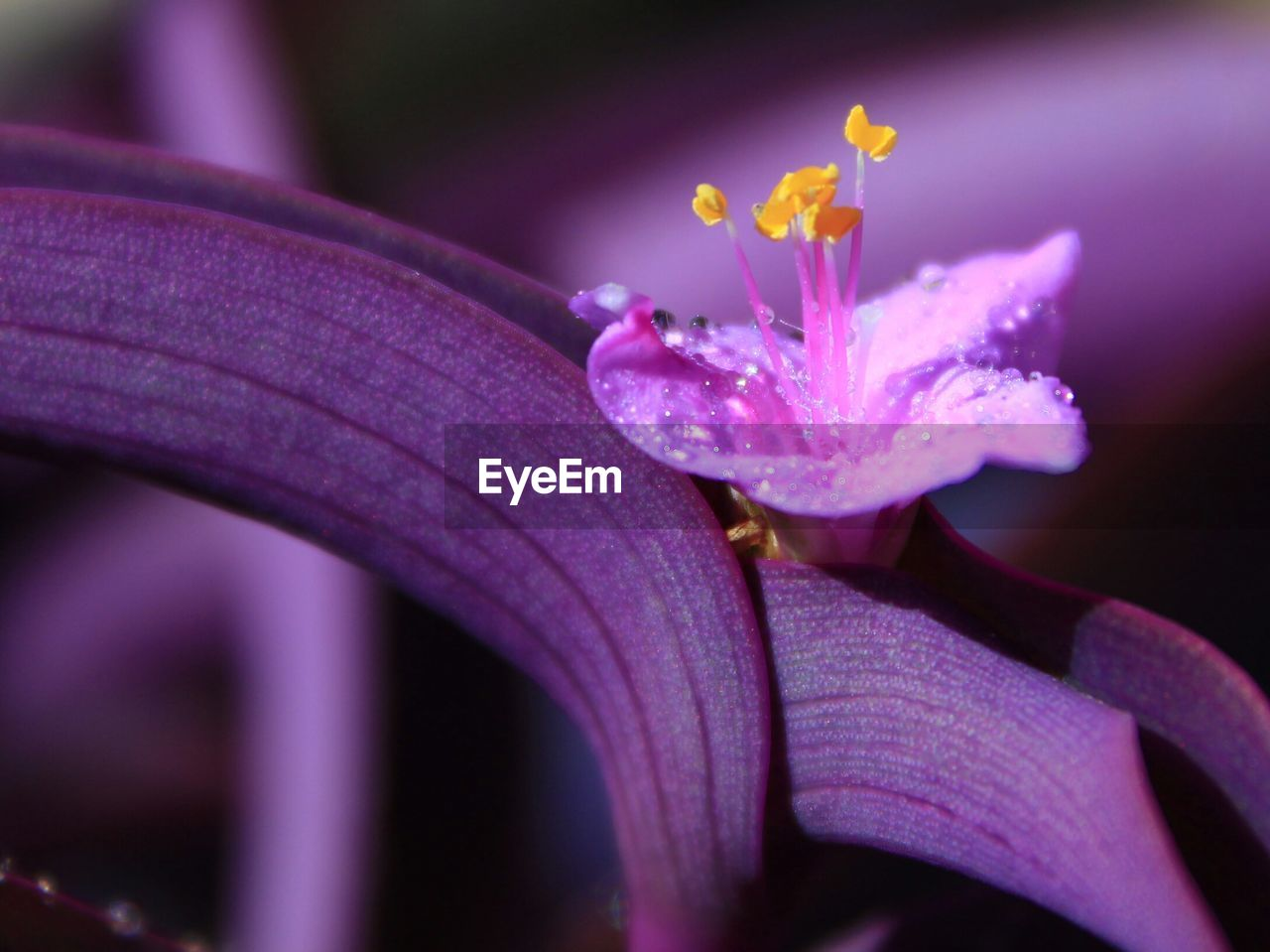 Close-Up Of Water Drops On Purple Flower