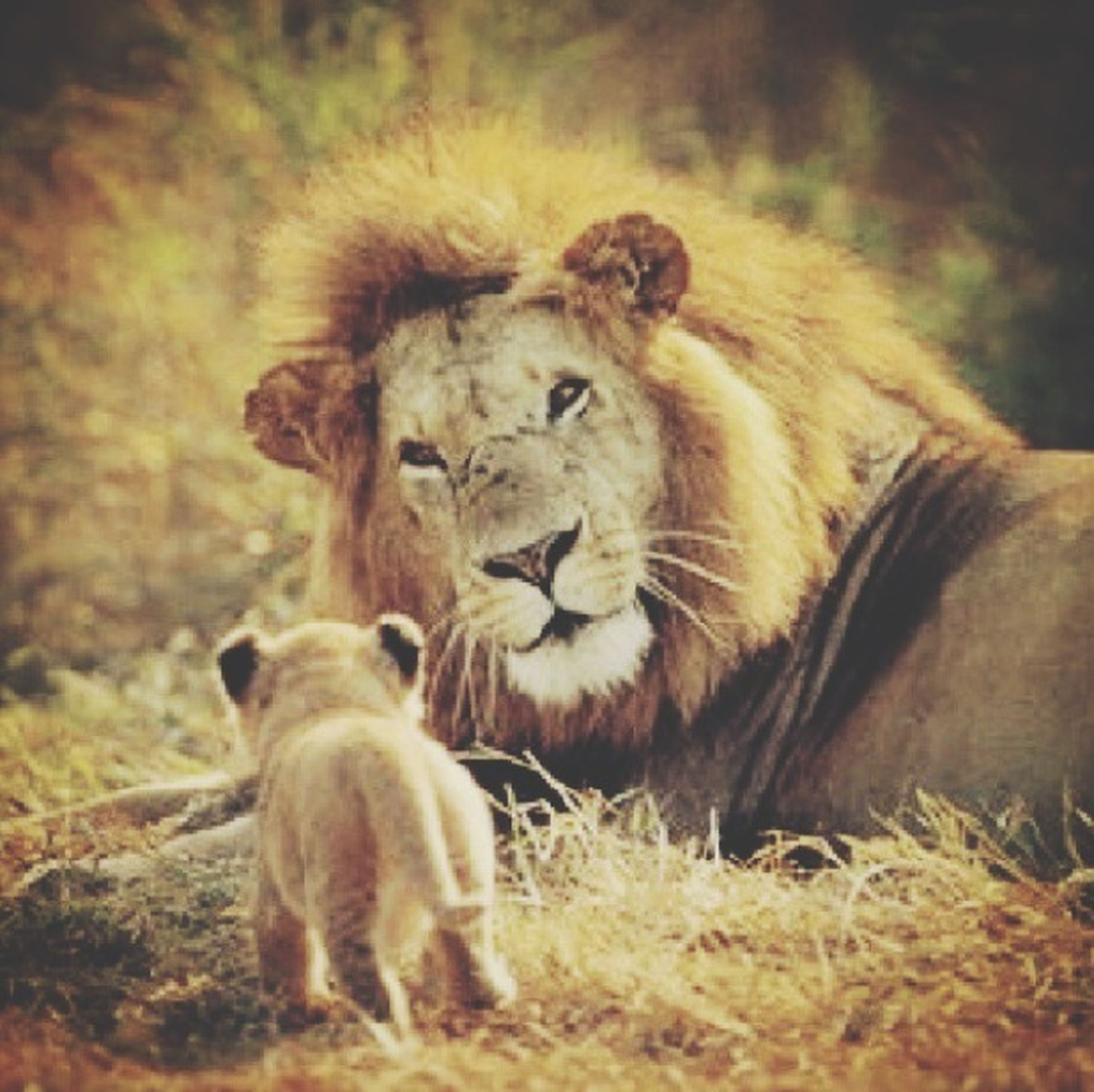 animal themes, mammal, animals in the wild, wildlife, one animal, field, safari animals, lion - feline, focus on foreground, young animal, grass, animal family, two animals, nature, day, relaxation, outdoors, horned, forest