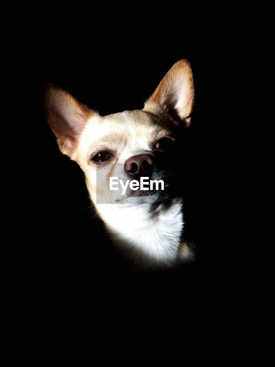 one animal, mammal, animal themes, animal, domestic animals, pets, domestic, black background, studio shot, vertebrate, dog, canine, indoors, no people, animal body part, portrait, close-up, looking at camera, animal head, copy space, chihuahua - dog