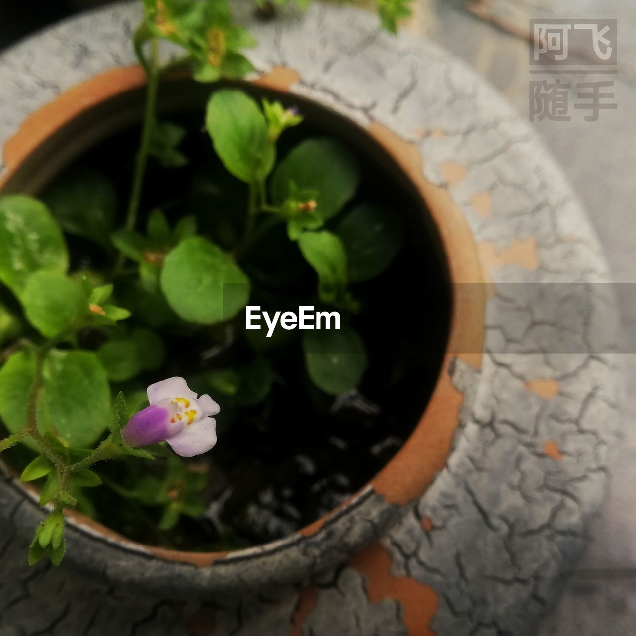 plant, flower, flowering plant, beauty in nature, growth, nature, leaf, plant part, close-up, potted plant, freshness, no people, vulnerability, fragility, directly above, high angle view, petal, day, water, flower head, flower pot