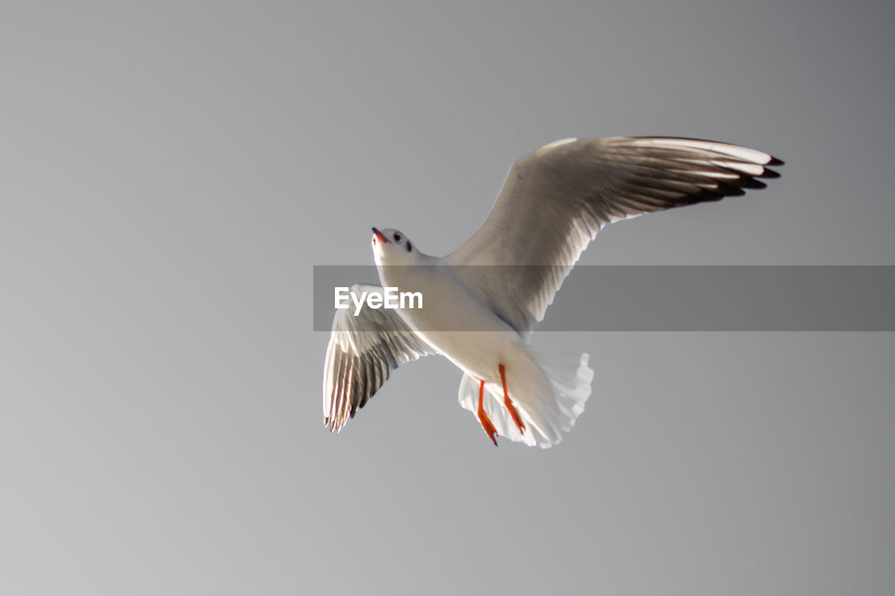 animal wildlife, animal, animals in the wild, vertebrate, animal themes, bird, flying, spread wings, one animal, copy space, sky, no people, seagull, mid-air, low angle view, motion, clear sky, nature, white color, day