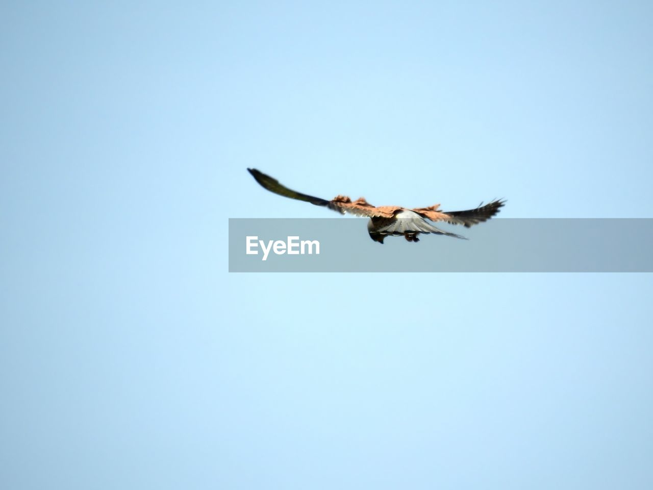 flying, sky, clear sky, low angle view, one animal, animal, vertebrate, copy space, spread wings, bird, animal themes, animal wildlife, blue, animals in the wild, mid-air, motion, day, nature, no people, outdoors, directly below, eagle