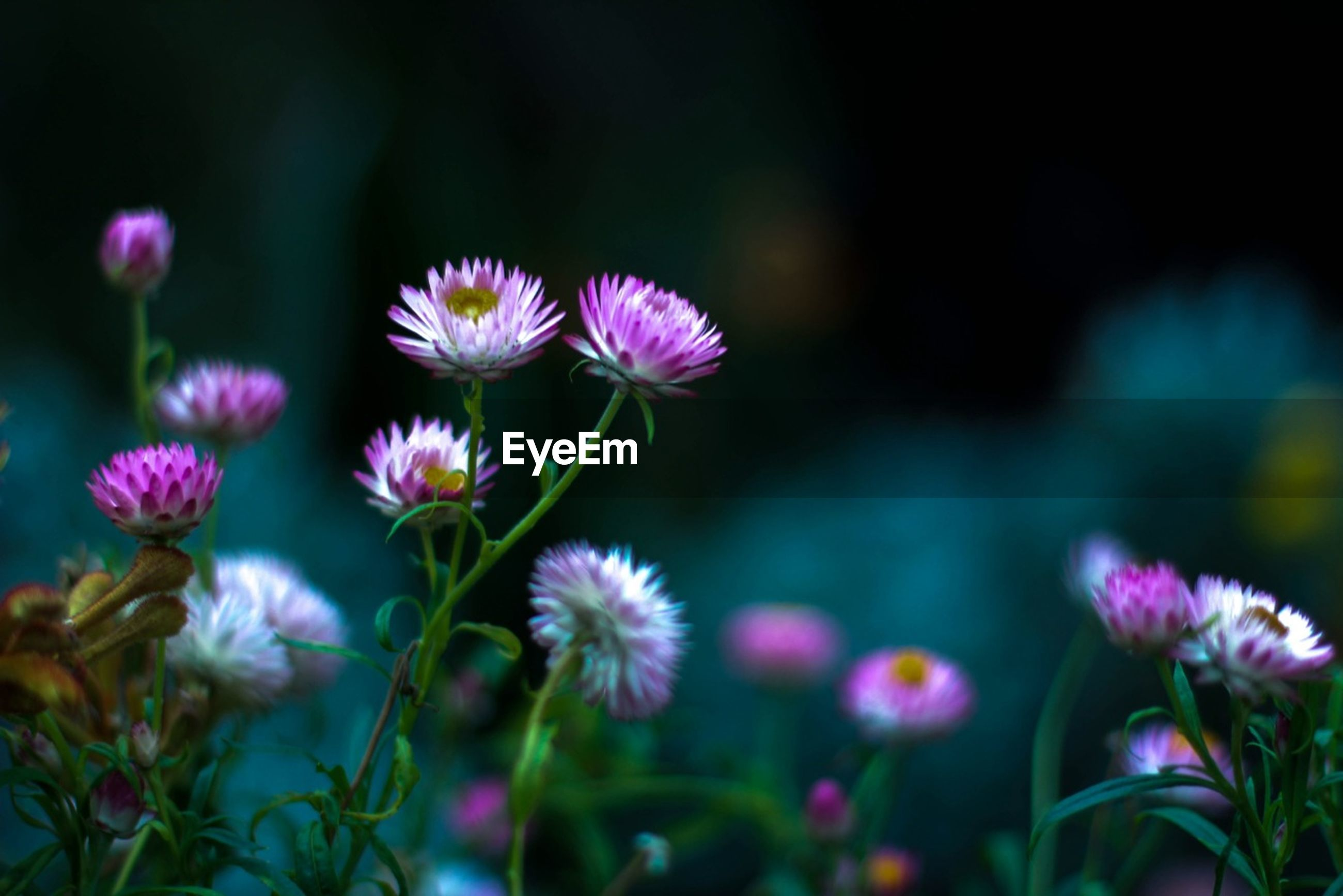 flower, freshness, fragility, growth, focus on foreground, petal, beauty in nature, close-up, flower head, purple, nature, stem, plant, selective focus, blooming, pink color, in bloom, bud, botany, outdoors