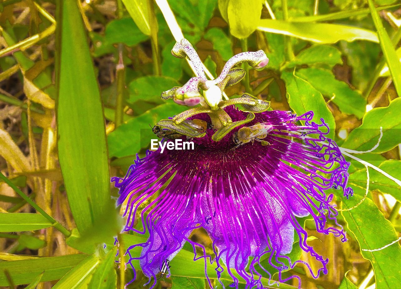 flower, freshness, fragility, beauty in nature, growth, purple, nature, petal, plant, flower head, day, no people, outdoors, passion flower, blooming, close-up